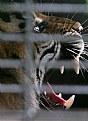 Picture Title - Panthera tigris Sumatrae