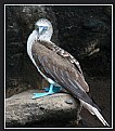 Picture Title - Blue-footed Boobie in Galapogas