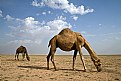 Picture Title - Camels