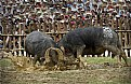Picture Title - Buffalo fighting festival