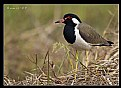 Picture Title - Red Wattled lapwing