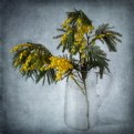 Picture Title - Mimosa