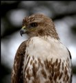 Picture Title - Red-Tailed Hawk (immature) II