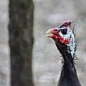 Picture Title - Guinea-fowl