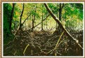 Picture Title - Mangrove forests