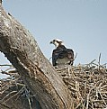 Picture Title - Osprey in Nest