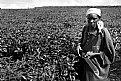 Picture Title - Tea Plantation (Uganda)