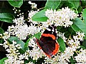 "Picture Title - "" Red Admiral "", By Barbara Kite"
