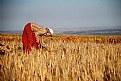 Picture Title - tarlada ırgat