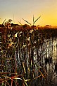 Picture Title - Reeds at Waterhole