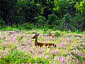 "Picture Title - "" Field Of Purple Flowers With Deer """
