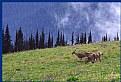 Picture Title - Deer on Hurricane Ridge