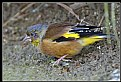Picture Title - B169 (Grey-capped Greenfinch)