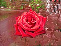 Picture Title - Theresa's  Rose