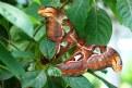 Picture Title - Goliath Moth