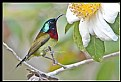 Picture Title - B172 (Fork-tailed Sunbird)