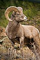 Picture Title - Rocky Mtn Bighorn Ram
