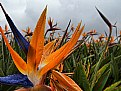 Picture Title - Bird of Paradise