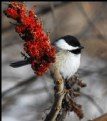 Picture Title - Chickadee & Sumac
