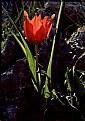 Picture Title - Wild tulip