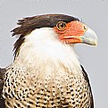 Picture Title - Crested CaraCara (Caracara cheriway)