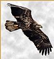 Picture Title - Imature Eagle