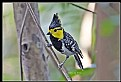 Picture Title - B176 (Yellow Cheeked Tit)
