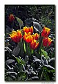 Picture Title - Spring Tulips (d5436)