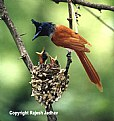 Picture Title - Fly catcher