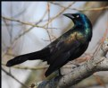 Picture Title - Common Grackle (Male)