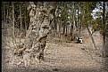 Picture Title - Box Elder tree