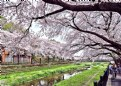 Picture Title - Nogawa Cherry Blossoms