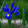 Picture Title - Blue Iris