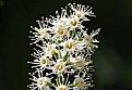 Picture Title - Prunus laurocerasus