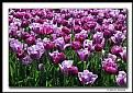 Picture Title - Springtime Tulips (d5541)