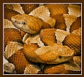 Picture Title - Copperheads