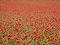 Picture Title - Poppyfield (June 2011)