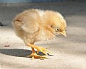 Picture Title - Chickchick