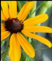 Picture Title - Black-Eyed Susan