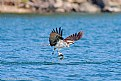 Picture Title - Osprey Fishing