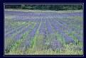 Picture Title - Lavender field 2m