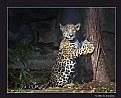 Picture Title - Jaguar Cub (d6044)