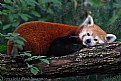 Picture Title - Red Panda