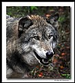 Picture Title - Wolf (d6106)