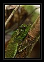 Picture Title - Humped nose lizard @ Kanneliya Rain Forest