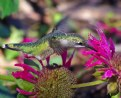 Picture Title - Winnipeg Hummingbird
