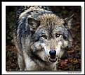 Picture Title - Wolf (d6115)