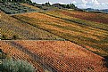 Picture Title - Vineyard in autumn 2