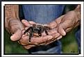 Picture Title - Tarantula pata rosada 2