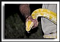 Picture Title - Asian Constrictor Reptail